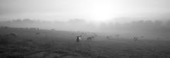 Simplicity on legs (jbs636) Tags: croughton simplicity sheep mist