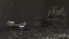 Three-banded plover, Namibia (wildonephotography) Tags: threebandedplover sand plover namibia