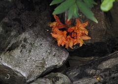 Contraste/contrast (bd168) Tags: rocks cailloux roche flower fleur azalée azelia bloom floraison orange garden jardin em10markii m60mmf28macro