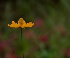 Sans titre (AlainC3) Tags: fleur flower nikond7500 blur flou jaune yellow plante nature