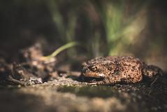 toad (E-C-L Photography) Tags: samyang135mmf20edumc amphibia toad bufobufo