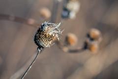 Sad Thistle (rg69olds) Tags: 12232018 85mm canoneos5dmarkiv canondigitalcamera nebraska wehrspannlake art canon omaha outdoor plant sigma sigma85mmf14artdghsm weeds sadthistle thistle wilt 85mmf14dghsm|a
