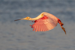 Roseate Spoonbill Inflight (dbadair) Tags: outdoor seaside shore sea sky water nature wildlife 7dm2 ef100400mm ocean canon florida bird bif flight