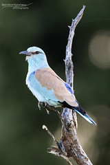European Roller - Kruger National Park (BenSMontgomery) Tags: european roller kruger national park satara s100 nwanedzi central plains savannah south africa wildlife safari lilac breasted bird insect perch