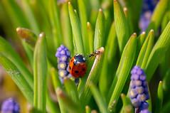 _IGP6647 (semenov729) Tags: insect ladybug drops macro macrounlimited