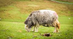 Herdwick . (wayman2011) Tags: colinhart fujifilmxf35mmf2 fujifilmxe2s lightroom5 wayman2011 rural sheep pennines dales baldersdale balderhead countydurham uk