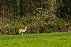 Lone Injured Fallow Pricket (ianbartlett) Tags: outdoor 365 nature wildlife landscapes monochrome cars pylons waterfalls deer lambs insects flowers trees bridges streams ponds orchids bluebells boathouse