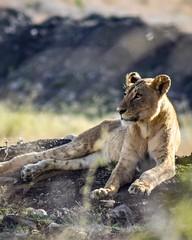 Weekends (khelan919) Tags: african wildlifeafrica photography animalplanet nationalgeographic kenya nairobinationalpark wildlife lion animal