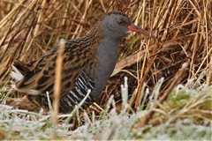 Water Rail (Rallus aquaticus)  Photographed at Dungeness RSPB (GrahamParryWildlife) Tags: grahamparrywildlife sigma 150600 sport 150 600 canon 7d mkii outdoor animal depth field mk2 uk kent rspb viewing photo flickr add new sunlight up blue dof kentwildlife dungeness sky feathers wings trail eye rails waterail secretive reeds cover timid grass bird food