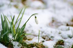 Munich - Snowdrop (cnmark) Tags: germany munich deutschland münchen bayern bavaria amhart macro makro snowdrop schneeglöckchen snow schnee winter ©allrightsreserved