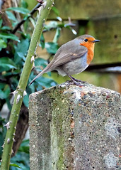 (karl from perivale) Tags: red robin birds bird nature wildlife outdoor garden post plant medwayvillage perivale greenford london gb uk ealing