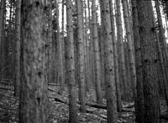 (toulouse goose) Tags: film ilford hp5 400 mamiya 645 e 120 sekor80mm28 mediumformat kodak d76 homedeveloped epson v500 spruce tree forest