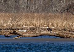 Bald Eagle along the banks of the Connecticut River (jmfuscophotos) Tags: americanbaldeagle baldeagle wildlife raptor nature bird connecticutriver essex birds riverquest eagle birdofprey connecticut