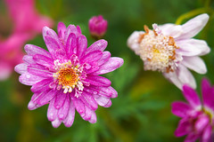 Akureyri botanical garden (jmarnaud) Tags: iceland 2018 summer family akureyri botanical garden flower green walk colors rain water drop