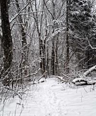 Where's Diego? (mgstanton) Tags: diego dog snow trees wayland winter blackandwhitephotography blackandwhite woods