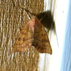 Eucirroedia pampina (Gary Walton) Tags: moth insect orangemoth rustymoth noctuidae owletmoths eucirroediapampina scaloppedsallow lepidoptera nature