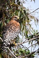 Red-shouldered Hawk (phoca2004) Tags: parkpresidiotrailwest birding z6 nikon sanfrancisco redshoulderedhawk birds raptor birdofprey hawk california unitedstatesofamerica us parkpresidiogreenway parkpresidioboulevard buteolineatus