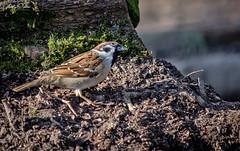 🇬🇧 Tree sparrow (vickyouten) Tags: treesparrow sparrow nature naturephotography wildlife britishwildlife wildlifephotography nikon nikond7200 nikonphotography nikkor55300mm burtonwood warrington uk vickyouten