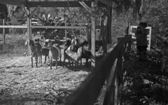 Mary Wants Goats (PositiveAboutNegatives) Tags: nikon rangefinder nikons2 cv50mmf25skopar film analog cosinavoigtlander bw blackandwhite kentmere100 rodinal standdeveloping girl goats