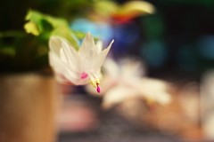 The mind fears the heart... (catarinae) Tags: the mind might fear heart but never minds flower cactus schlumbergera plant bloom white pink yellow work deutschland germany berlin office