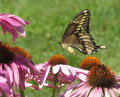 giant swallowtail (Cheryl Dunlop Molin) Tags: giantswallowtail butterfly coneflowers naturethroughthelens swallowtail