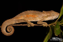 Bradypodion ventrale - Eastern Cape Dwarf Chameleon (Tyrone Ping) Tags: bradypodion ventrale eastern cape dwarf chameleon chameleons nature natural lizard lizards wild wildlife wildherps wildanimals reptile southern africa south creature critter critters 100mmmacrof28 macro close up mt24ex hogsback wilderness wwwtyronepingcoza tyroneping herps herping road trip