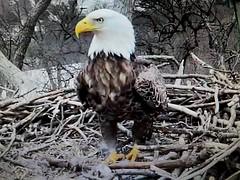Liberty  - SCREENSHOT - 03-04-2019 (7) (THE Halloween Queen) Tags: eagles eagle wildlife bald baldeagles nationssymbol patriotic
