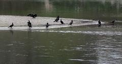 Penisola (lincerosso) Tags: fiume river cormorano phalacrocoraxcarbo acqua water bellezza armonia