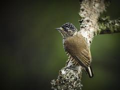 White-barred Piculet (Aisse Gaertner) Tags: whitebarredpiculet riodejaneiro brazil coolpix nikon p900 birdwatching