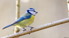 Rétro - profil d'une Mésange (Phil du Valois) Tags: mésange bleue cyanistes caeruleus eurasian blue tit