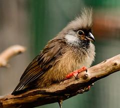 Spectacled Mousebird (Joseph Deems) Tags: sandiegod5007123452018joe san diego zoo bird