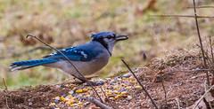 _DSC0478 (johnjmurphyiii) Tags: 06416 birds connecticut cromwell originalnef shelly tamron18400 usa wildlife winter yard johnjmurphyiii