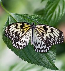 TreeNymphButterfly (Borreltje.com) Tags: kleincostarica costarica tropical tropics someren nature wildlife nikon animalphotography