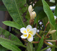 2019.03.23 - Fragipani (6) (jennylsmithers) Tags: frangipani flowers yellow white