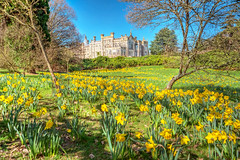 Daffodils (niloc's pic's) Tags: daffodil narcissus yellow flower bulb trees house grass sky sheffieldpark nationaltrust eastsussex panasonic lumix dcg9