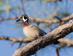 Wood Duck (ruthpphoto) Tags: bird animal woodduck