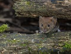 Bank Vole (ukmjk) Tags: bank vole wolseley centre staffordshire wildlife trust nikon nikkor d500 200500 vr mammal