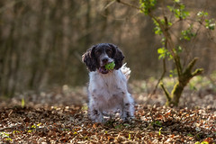 Ball in forest (Flemming Andersen) Tags: zigzag pet nature ball outdoor green cocker dog animal