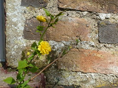 Kerria japonica 'Pleniflora' flowers at my house. (lorraineelizabeth59) Tags: kerria kerriajaponica yellow yellowshrub shrub yellowflowers yellowflower bachelorsbuttons williamkerr pleniflora