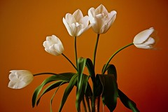 Tulips (prokhorov.victor) Tags: цветок цветы растения флора весна красота