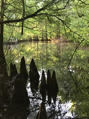 Knees (Trudy -) Tags: water pond silhouette shade light nature cypressknees cypress trees swamp