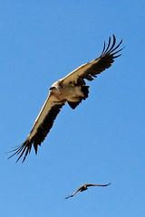 Survol (Arnadel) Tags: aigle faucon oiseaux eagle falcon birds raptors