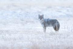Aapí'si   Canis latrans   Coyote (Paul B Jones) Tags: aapísi canislatrans coyote watertonlakesnationalpark alberta canada nature wildlife winter predator canid canon eos1dxmarkii ef500mmf4lisiiusm 14xiii