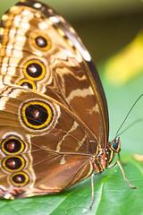 Brown on Green (Thomas Hawk) Tags: america forestpark missouri mo saintlouiszoo stlouis usa unitedstates unitedstatesofamerica butterfly zoo fav10