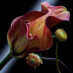 Calla Lily & Dahlia Buds (Pixel Fusion) Tags: dahlia flora aperture flower calla nature nikon lily macro d600 photoshop