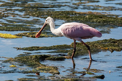 Roseate Spoonbill -7727 (NWPaddler) Tags: 2018 2019 birds dingdarlingnwr fl florida nikon roseatespoonbill sanibel tamron vacation zoom bird pink