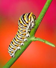 Black swallowtail caterpillar on rue (Vicki's Nature) Tags: caterpillar blackswallowtail spots colorful background yard georgia vickisnature canon s5 9947 rue fromflorida