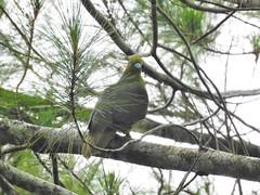 Sumatran Green Pigeon (benyeuda) Tags: sumatra bird birdwatching birding tapanroad bukittapan kerinciseblat rainforest treronoxyurus greenpigeon sumatrangreenpigeon endemic greenbird colorfulbird