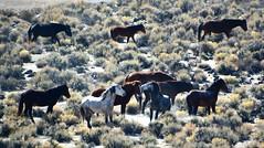 Horse Talk - Eastern Sierra's California (simbajak) Tags: wild horses california mono county easternsierranevadamountains mustang sage