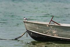 King of the world (Siebbi) Tags: schwedeneck schleswigholstein germany de water ocean meer balticsea ostsee wasser boot boat seeschwalbe tern küstenseeschwalbe arctictern vogelbird animal tier